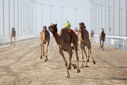Camel Racing
