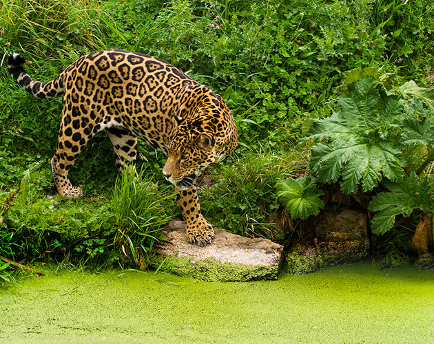 A Jaguar in the jungle