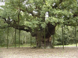 Major Oak Tree - Sherwood Forest