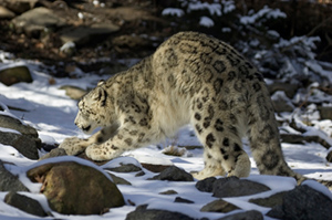 Endangered Snow Leopard