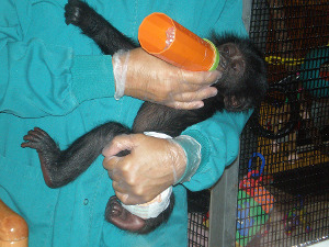 A baby chimpanzee being fed