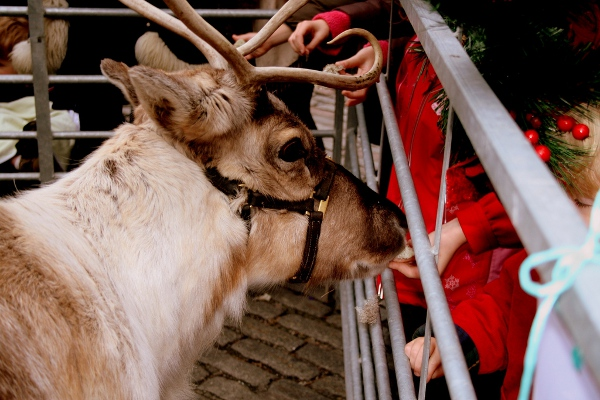Live reindeers in Covent Gardens
