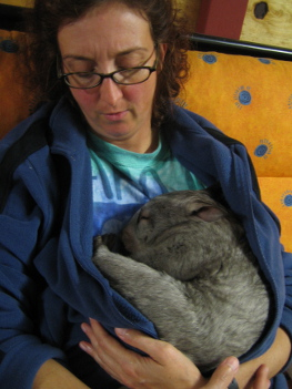 A wombat took a nap in my lap