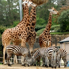 Endangered Rothschild giraffes at Belfast Zoo