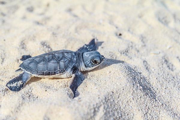 Hatching sea turtle