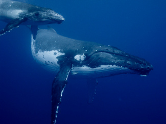 A mother whale nursing her calf