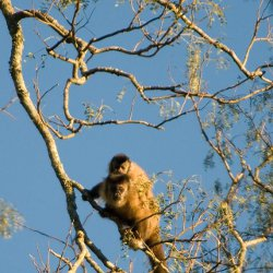 Paraguay Monkey Study
