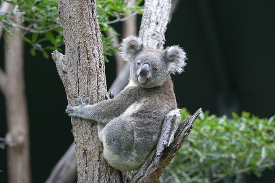 Koala Sanctuary in Brisbane