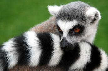 The Madagascan Lemur